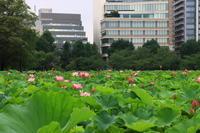 上野不忍池の蓮 - お散歩写真     O-edo line