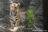 アムールトラ ショウヘイ 1歳半記録(前編) - Animalphotographys's Blog