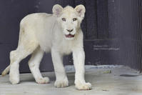 2020.7.26 東北サファリパーク☆ホワイトライオンのいっきゅう君とユズちゃん【White lions】 - 青空に浮かぶ月を眺めながら