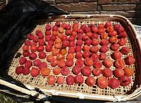 梅仕事土用干し引き上げた赤紫蘇で紅しょうがを作る♡ - すてっぷ by すてっぷ