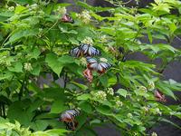 イケマに集まる蝶 - 風任せ自由人