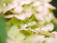 紫陽花とカマキリ - tokoya3@