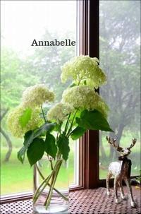 アナベル咲き始め - ハーブガーデン便り