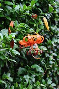 梅雨の裏山ヤマユリ咲いた - 満足満腹 お茶とごはん2