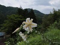 路傍に咲く ~ヤマユリ~ (2020/7/20撮影) - toshiさんのお気楽ブログ