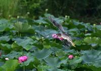 ハス池の上を - 季節の映ろひ