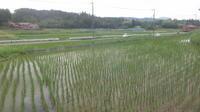 小西養鯉場&小西米プロジェクトTheOdyssey2020-57 - 鯉の里は、米の郷