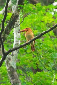 2020-136 アカショウビンの餌運びPart2 - 近隣の野鳥を探して2