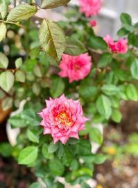 流行に付いていけない私と、フォーエバーローズ♡ - 薪割りマコのバラの庭