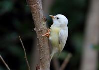 コゲラ  - 野鳥の視線