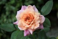 心に栄養 - バラとハーブのある暮らし Salon de Roses