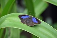 ムラサキツバメ思わぬ訪問 - 蝶のいる風景blog