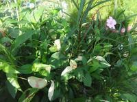 斑入り水引 - だんご虫の花