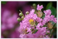 サルスベリ - 花ありて 日々