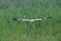 コウノトリ ひかるの採餌(2) - 銀狐の鳥見