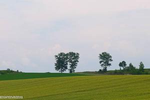 パフィーの木が見える景色~7月の美瑛 - My favorite ~Diary 3~