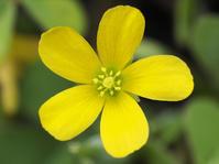 オッタチカタバミの花の観察 - 自然観察大学ブログ