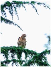 東京はやっと梅雨明けしたが私の心は晴れないオオタカ幼鳥7/30最後の声動画2020/8/1 in Tokyo - むっちゃんの花鳥風月  ( 鳥・猫・花・空・山 )
