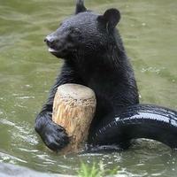 雨の中遊ぶツキノワグマ - 動物園放浪記