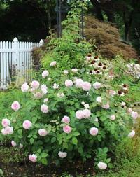 オリビア&バレリーナ2番花&どんでん返し - ペコリの庭と時々パン