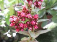 多肉植物クラッスラ「アルバ」の花 - あるまじろの庭