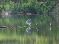カワウ & アオサギ - 今朝の一枚 石狩川の朝