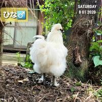 最近の烏骨鶏たち - 烏骨鶏かわいいブログ
