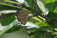 富士山麓にて - 蝶と蜻蛉の撮影日記