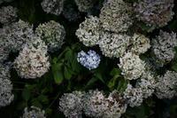 紫陽花変化 - フォトな日々
