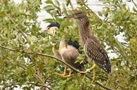 ホシゴイ - そらと林と鳥
