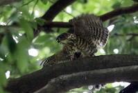 ツミその(幼鳥暗い中で餌確保) - 私の鳥撮り散歩