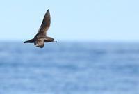 アカアシミズナギドリ - 北の野鳥たち