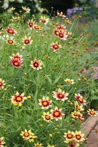 夏の花♪キキョウ&山ユリ - ペコリの庭と時々パン