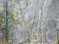 トマト畑のネット - monn-sann