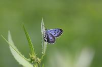 オオゴマシジミ - Lycaenidaeの蝶鳥撮影日記