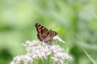 コヒオドシ - Lycaenidaeの蝶鳥撮影日記
