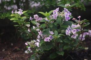 7月30日自宅の庭の花々 -
