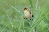 セッカ幼鳥 - 風のささやき