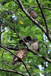 アオバズクまとめ - 私の鳥撮り散歩