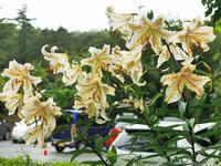 ヤマユリはやはり今時の野花の女王ではなかろうや♪・・・赤城自然園 - 『私のデジタル写真眼』