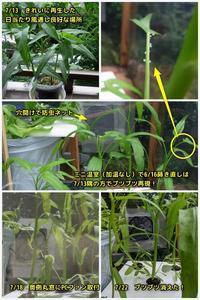 空芯菜(エンツァイ)謎のブツブツ続き - ■■ Ainame60 たまたま日記 ■■