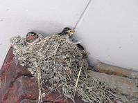 つばめ - from the nest