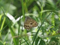 キマダラモドキの開翅 - 蝶超天国