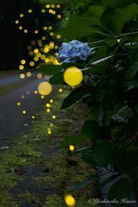 紫陽花とヒメボタル - 写真ブログ「四季の詩」