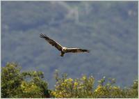 チュウヒが飛んでいる - 野鳥の素顔 <野鳥と日々の出来事>