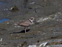 干潟のコチドリ - コーヒー党の野鳥と自然パート3