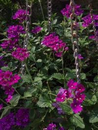 8月の庭N0.2夏花「こんもり」と「保険」 - グリママの花日記