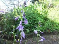 涼しげなホスタ - だんご虫の花