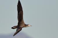 在庫画像(飛翔写真その他) - ほとんど野鳥写真日記