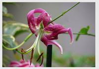 カノコユリ - 花ありて 日々